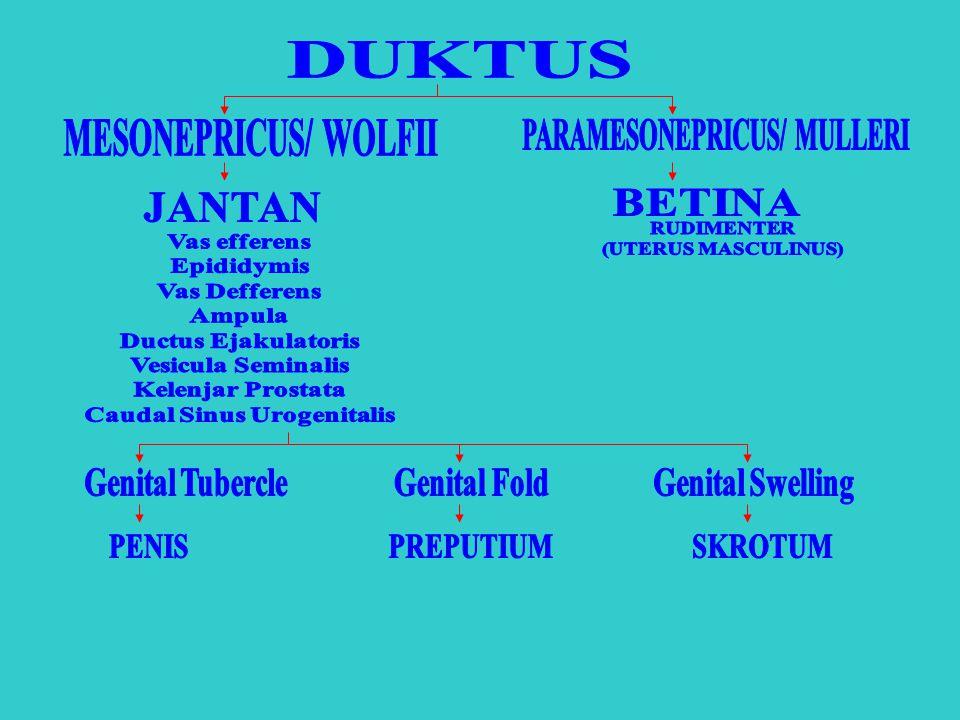 DUKTUS MESONEPRICUS/ WOLFII PARAMESONEPRICUS/ MULLERI