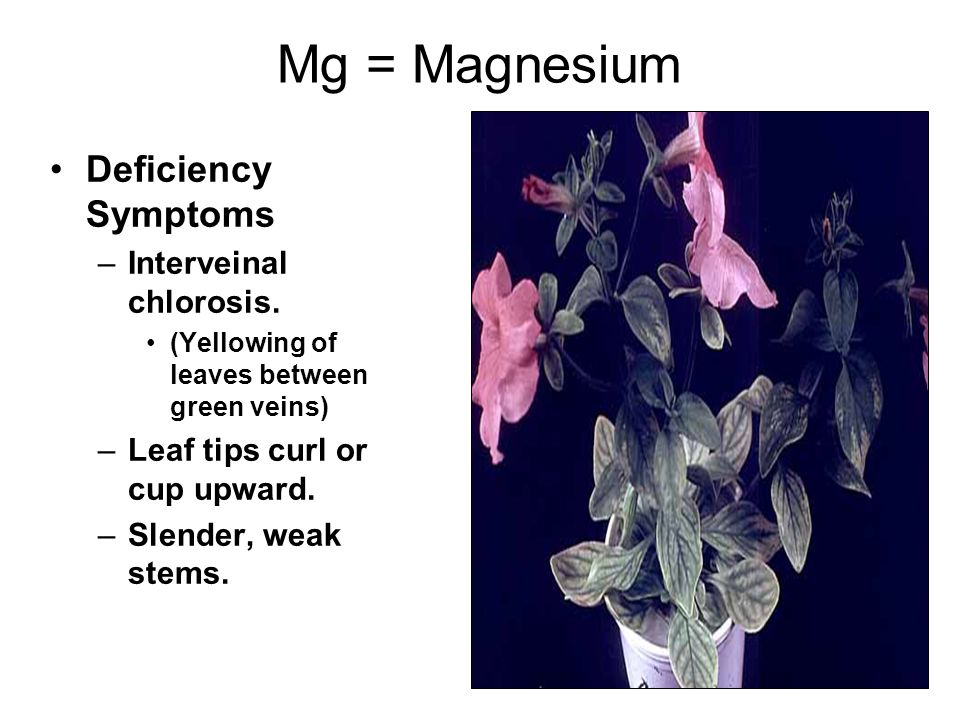 Mg = Magnesium Deficiency Symptoms Interveinal chlorosis.