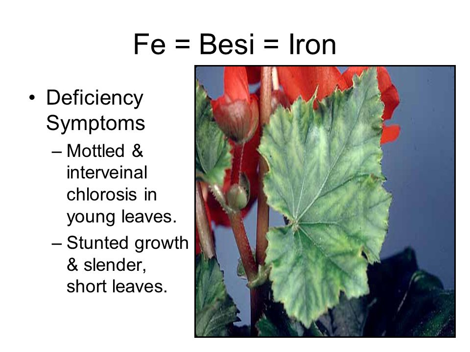 Fe = Besi = Iron Deficiency Symptoms