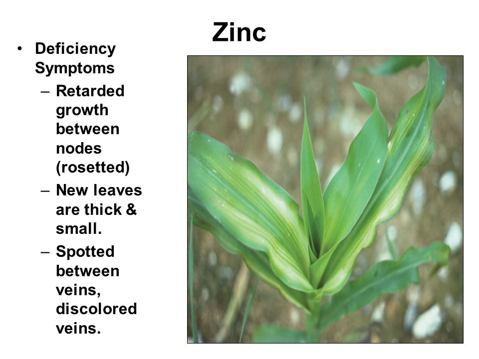 Zinc Deficiency Symptoms Retarded growth between nodes (rosetted)