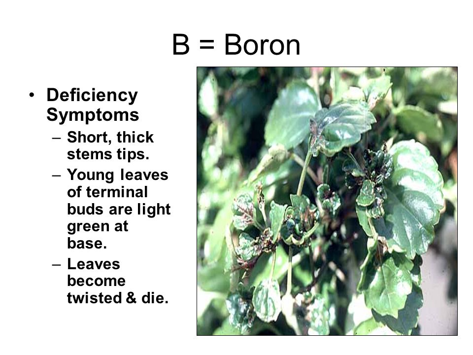 B = Boron Deficiency Symptoms Short, thick stems tips.