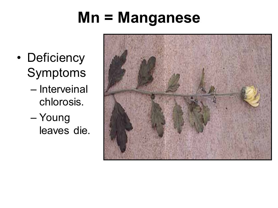 Mn = Manganese Deficiency Symptoms Interveinal chlorosis.