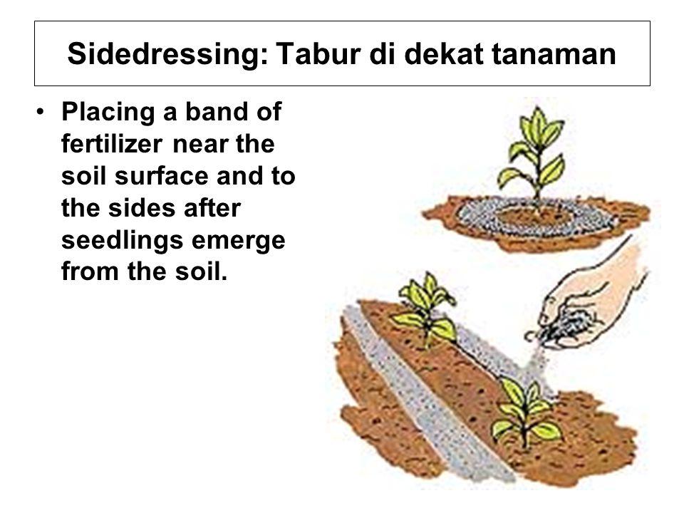 Sidedressing: Tabur di dekat tanaman