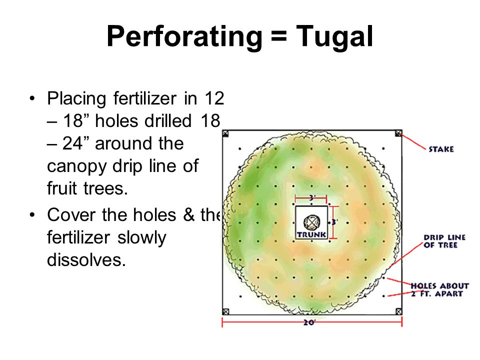 Perforating = Tugal Placing fertilizer in 12 – 18 holes drilled 18 – 24 around the canopy drip line of fruit trees.