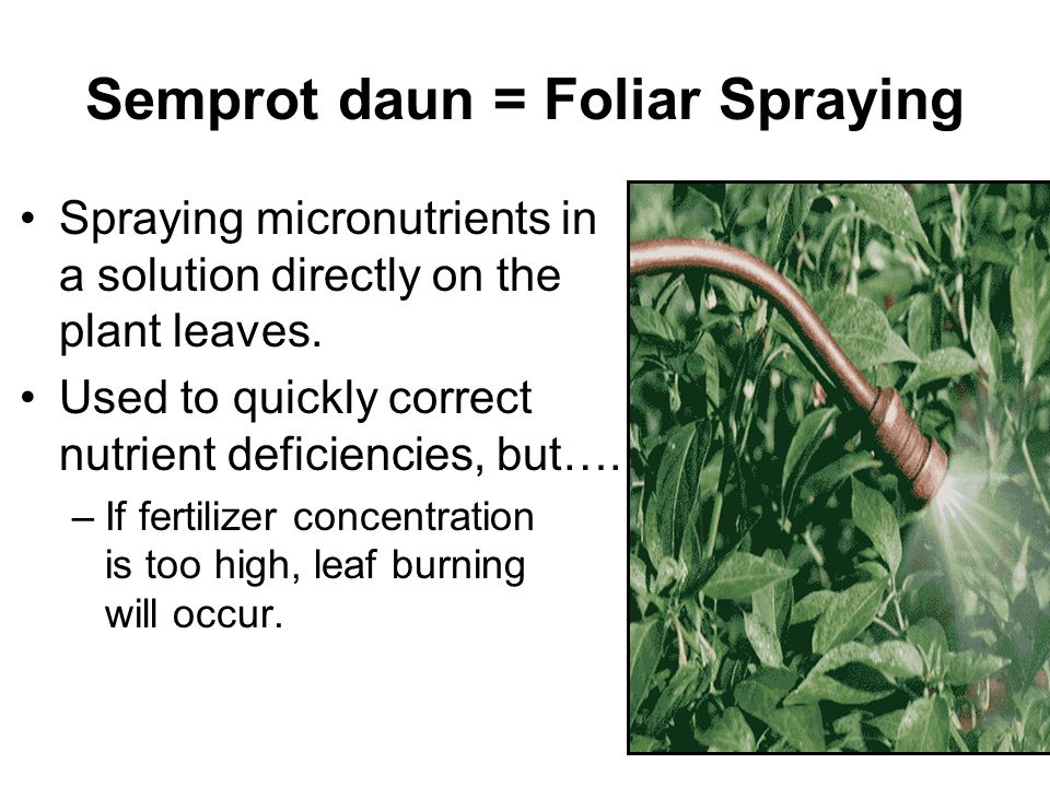 Semprot daun = Foliar Spraying
