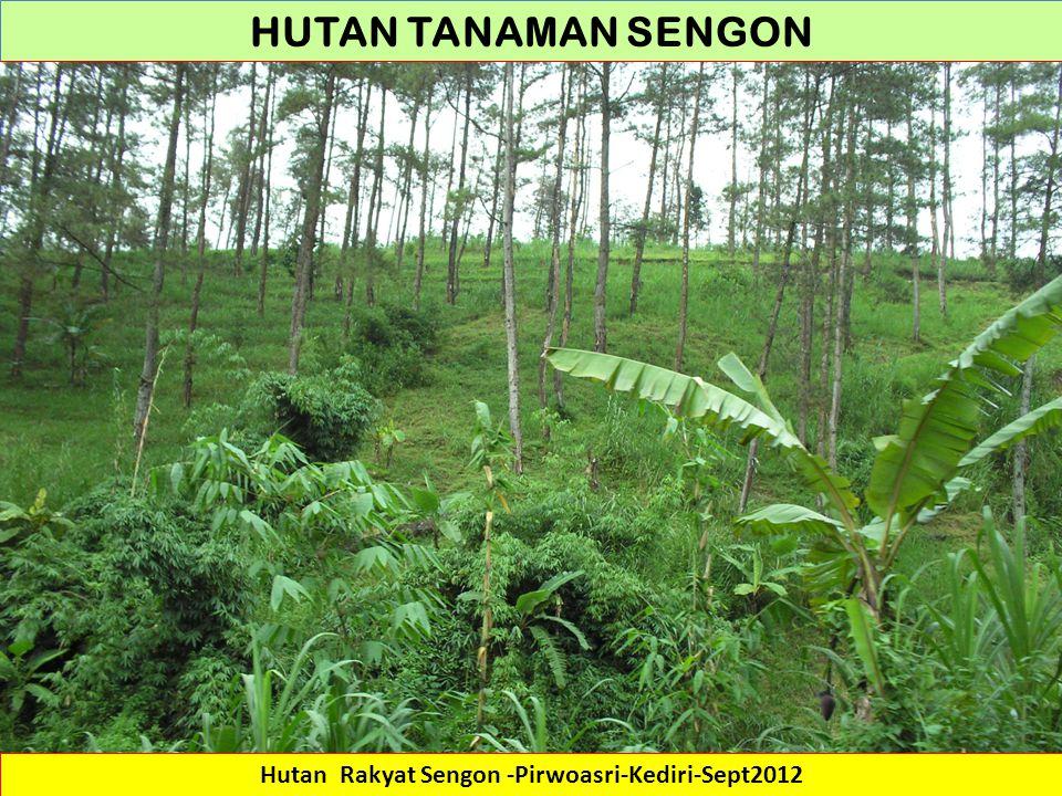 Hutan Rakyat Sengon -Pirwoasri-Kediri-Sept2012