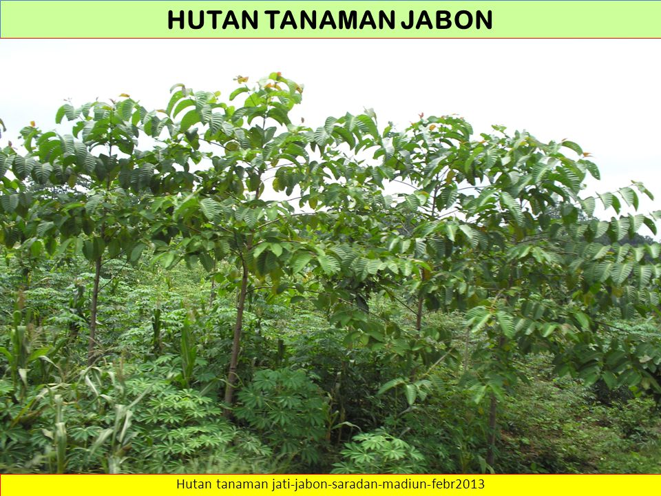 Hutan tanaman jati-jabon-saradan-madiun-febr2013