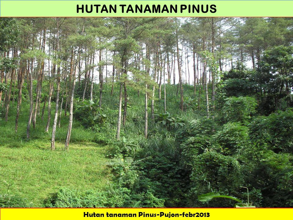 Hutan tanaman Pinus-Pujon-febr2013