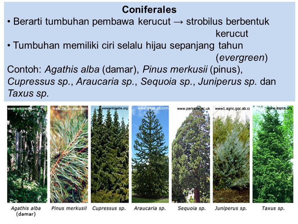 Coniferales Berarti tumbuhan pembawa kerucut → strobilus berbentuk kerucut.