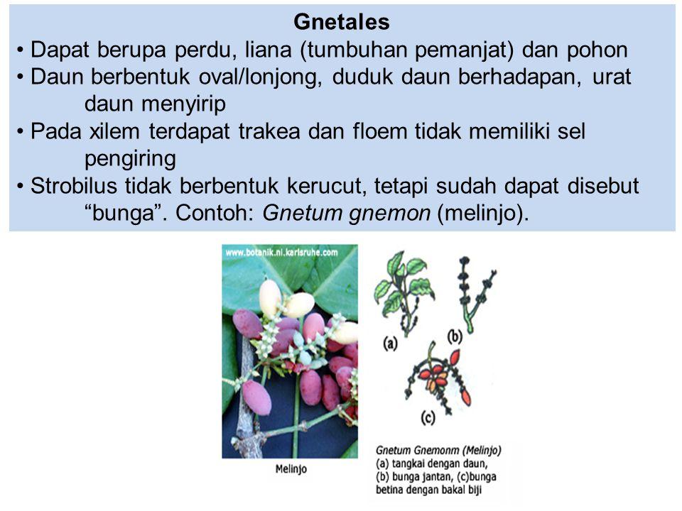 Gnetales Dapat berupa perdu, liana (tumbuhan pemanjat) dan pohon. Daun berbentuk oval/lonjong, duduk daun berhadapan, urat daun menyirip.