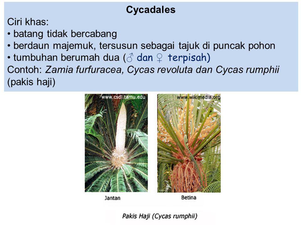 Cycadales Ciri khas: batang tidak bercabang. berdaun majemuk, tersusun sebagai tajuk di puncak pohon.