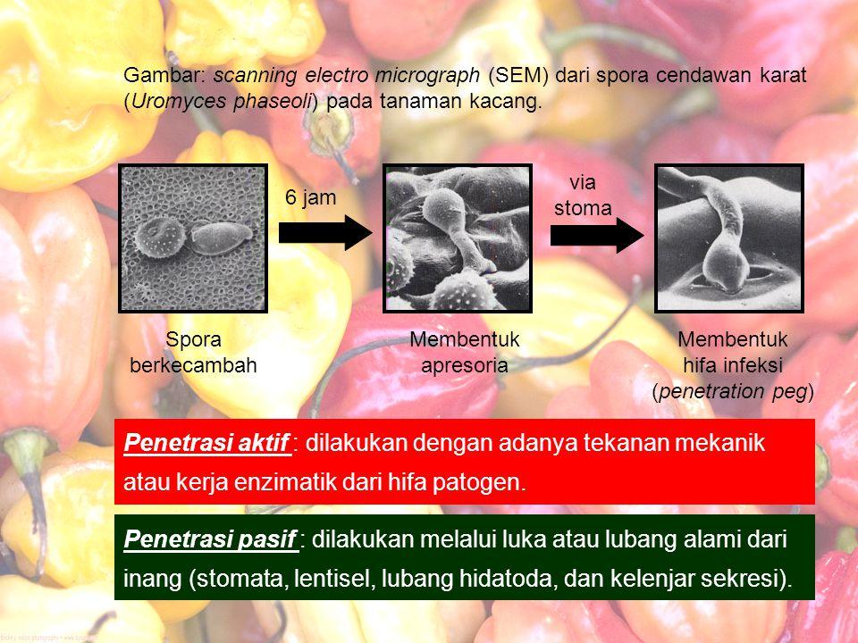 Membentuk hifa infeksi (penetration peg)