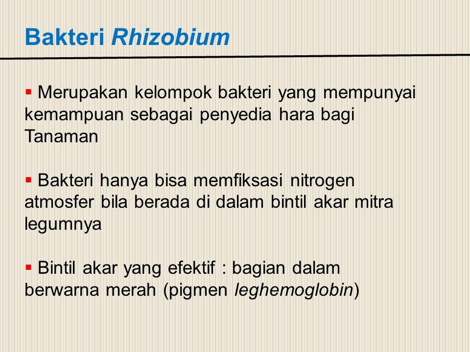 Bakteri Rhizobium Merupakan kelompok bakteri yang mempunyai