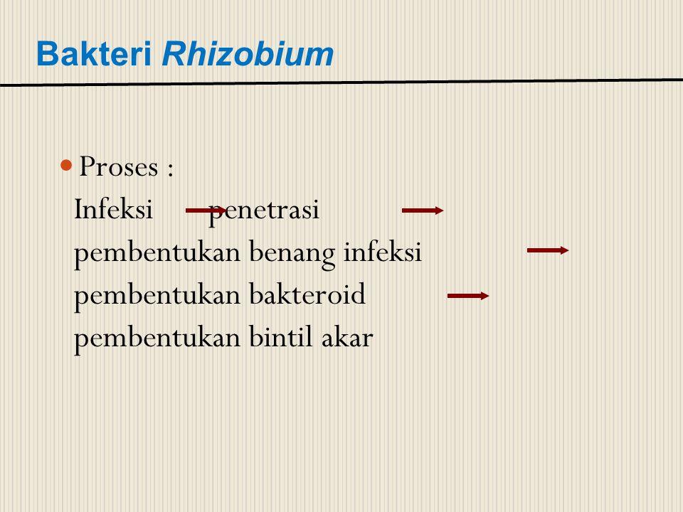 Bakteri Rhizobium Proses : Infeksi penetrasi. pembentukan benang infeksi. pembentukan bakteroid.