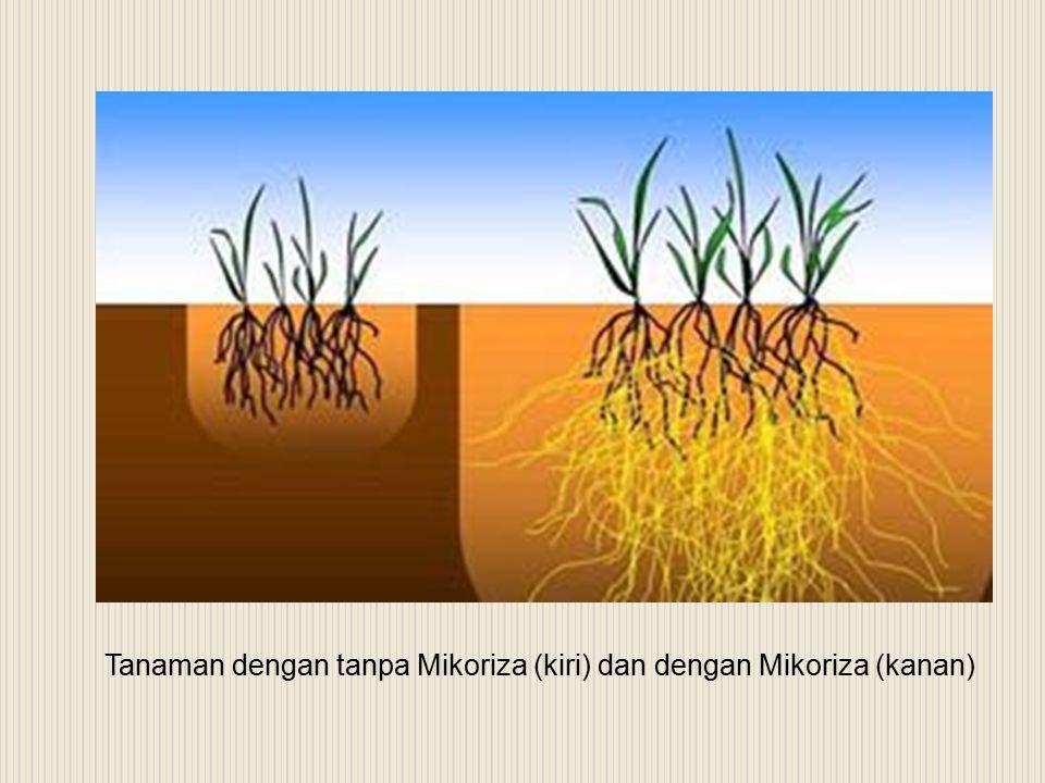 Tanaman dengan tanpa Mikoriza (kiri) dan dengan Mikoriza (kanan)