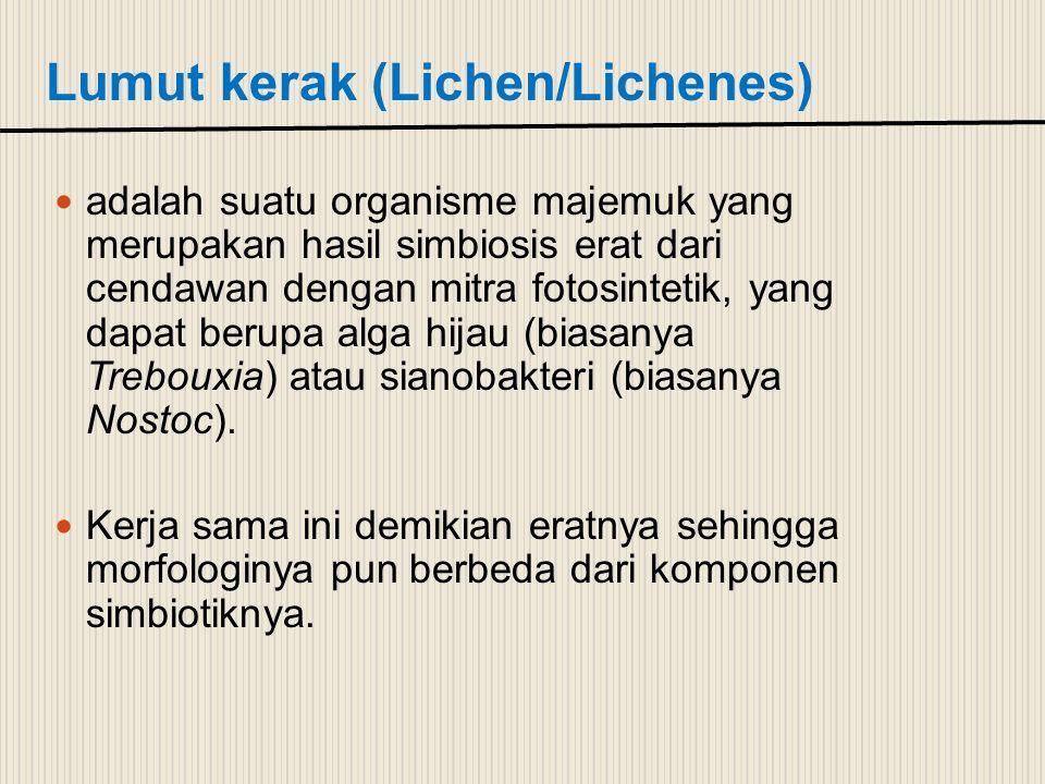 Lumut kerak (Lichen/Lichenes)
