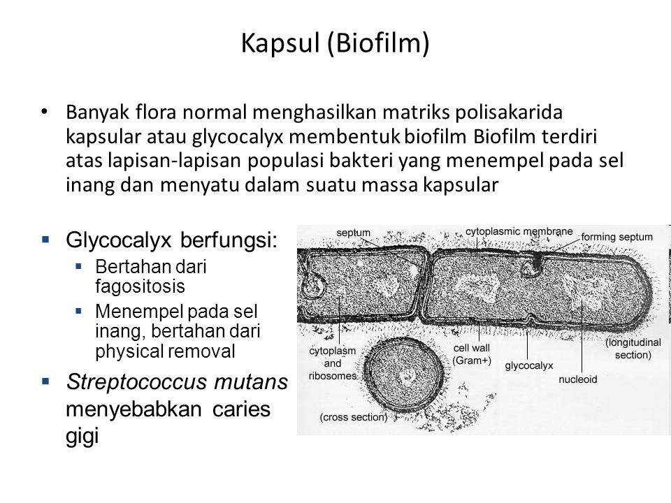 Kapsul (Biofilm)
