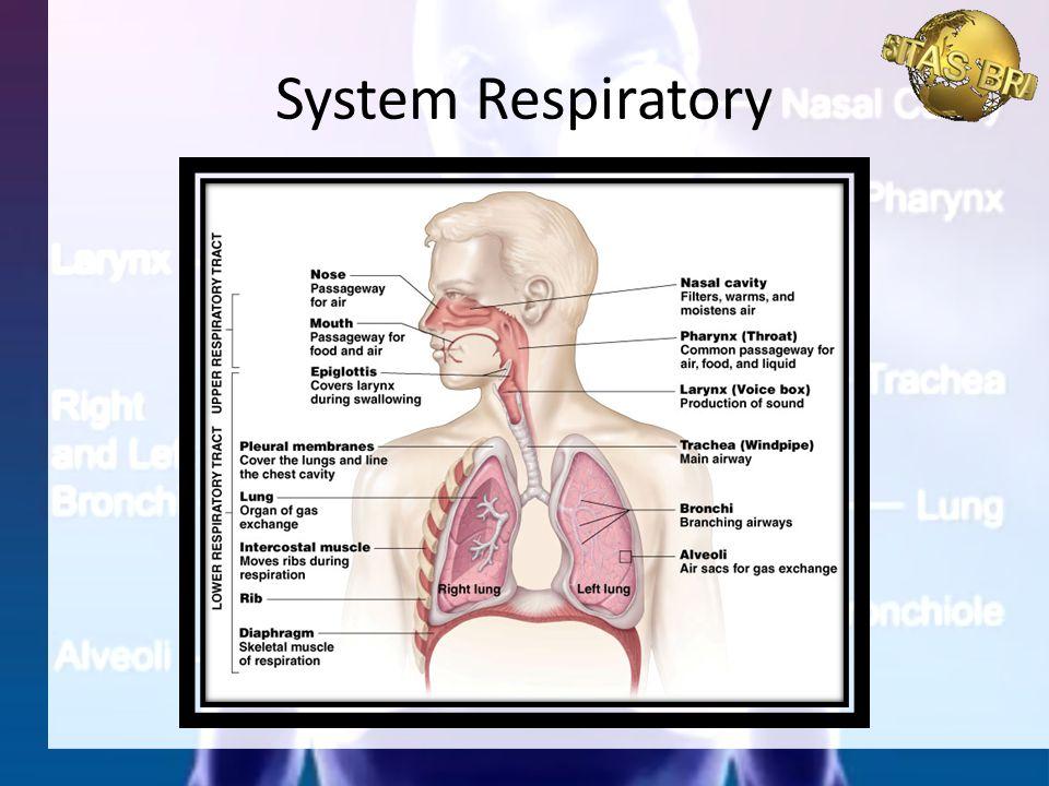 System Respiratory