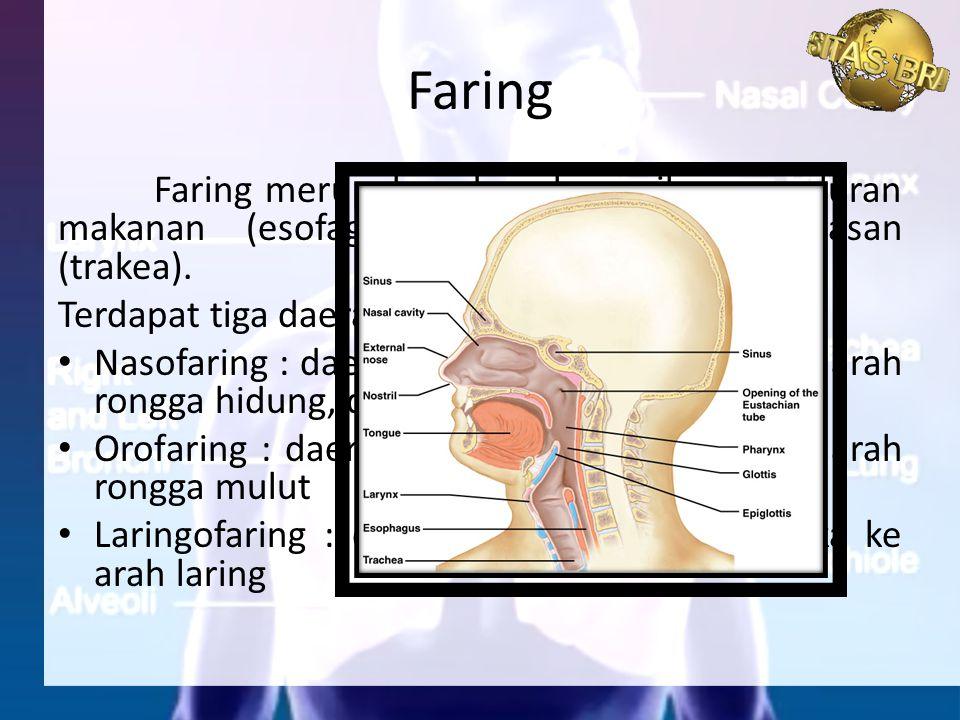 Faring Faring merupakan daerah persilangan saluran makanan (esofagus) dan saluran pernapasan (trakea).