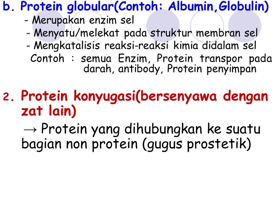 b. Protein globular(Contoh: Albumin,Globulin)