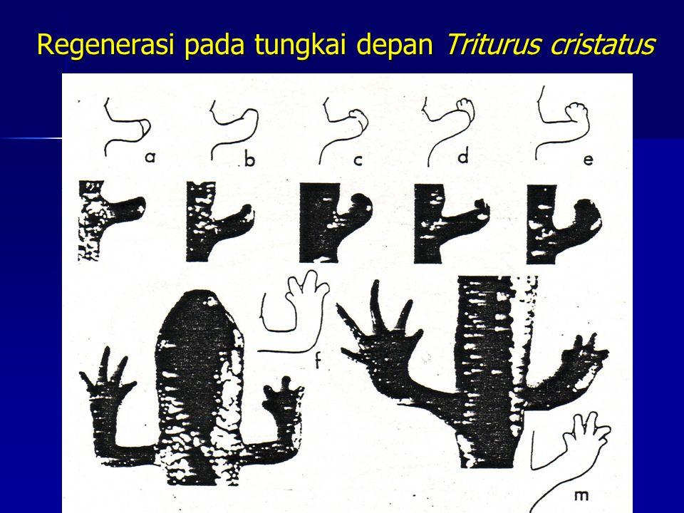 Regenerasi pada tungkai depan Triturus cristatus