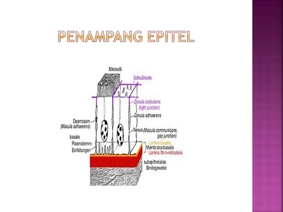 Penampang epitel