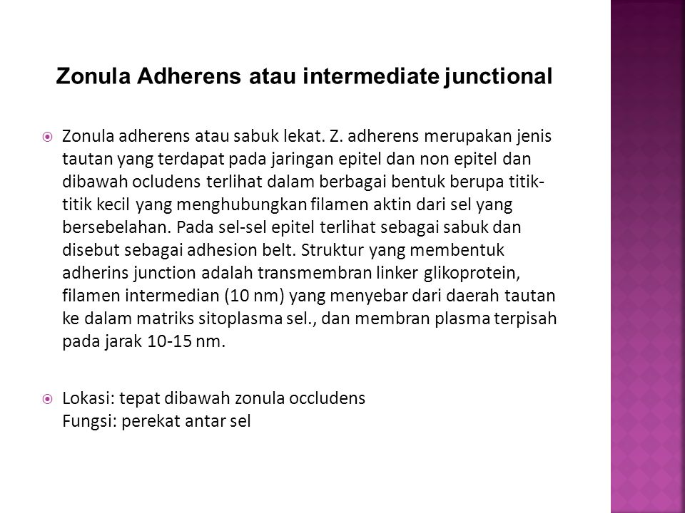 Zonula Adherens atau intermediate junctional