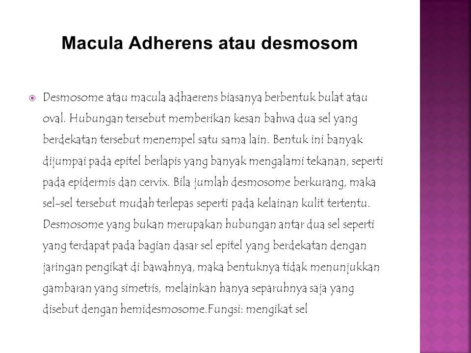 Macula Adherens atau desmosom