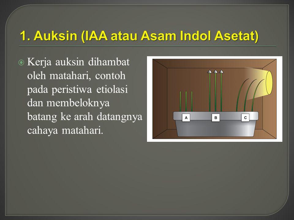 1. Auksin (IAA atau Asam Indol Asetat)