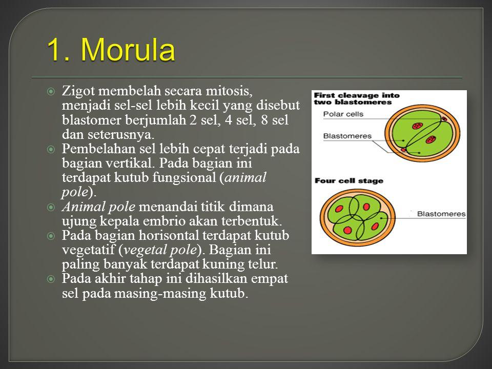 1. Morula Zigot membelah secara mitosis, menjadi sel-sel lebih kecil yang disebut blastomer berjumlah 2 sel, 4 sel, 8 sel dan seterusnya.
