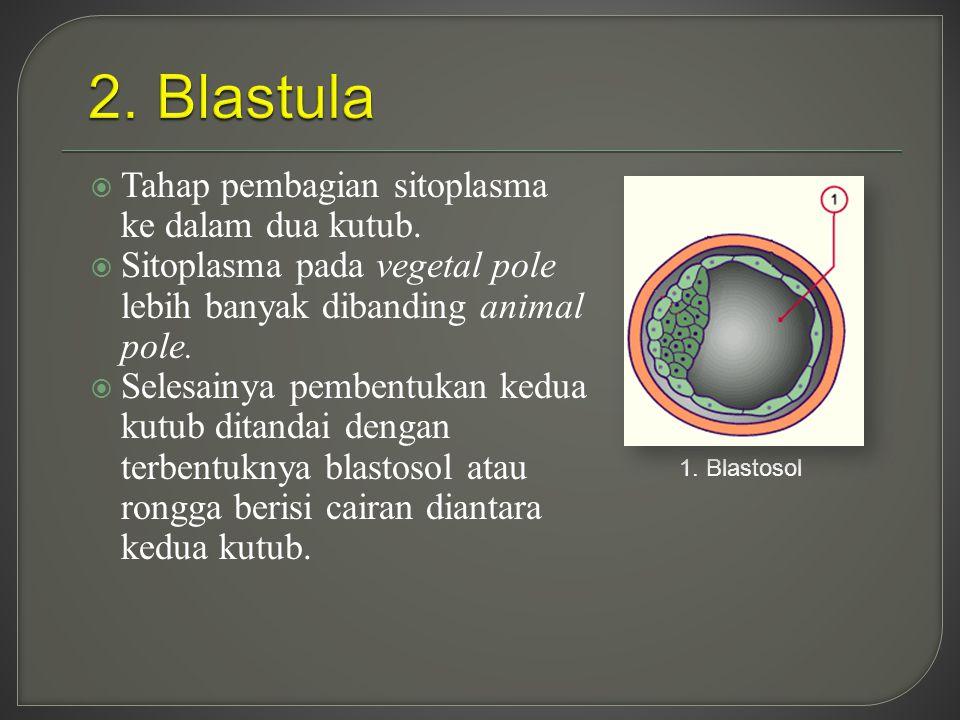 2. Blastula Tahap pembagian sitoplasma ke dalam dua kutub.