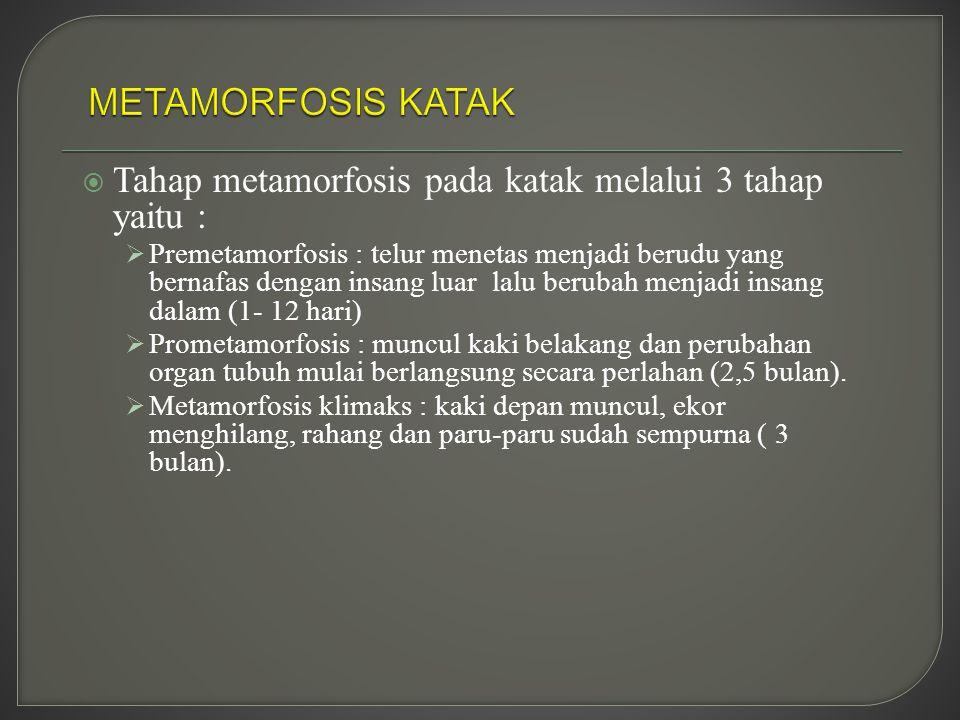 Tahap metamorfosis pada katak melalui 3 tahap yaitu :