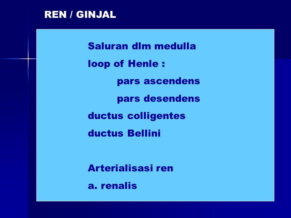 REN / GINJAL Saluran dlm medulla. loop of Henle : pars ascendens. pars desendens. ductus colligentes.
