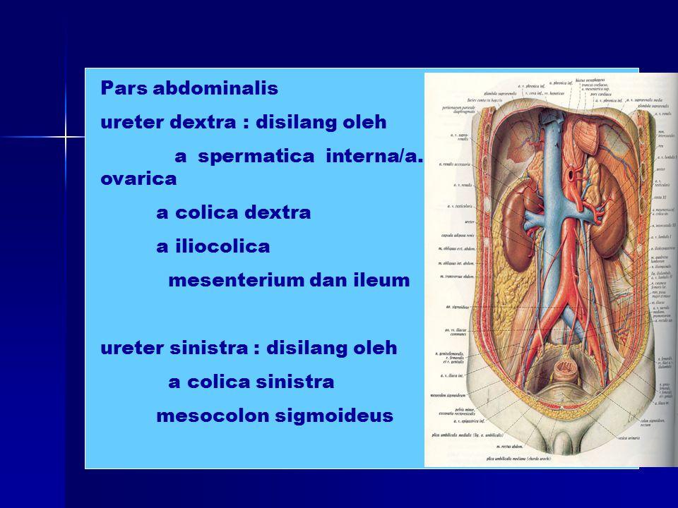 Pars abdominalis ureter dextra : disilang oleh. a spermatica interna/a. ovarica. a colica dextra.