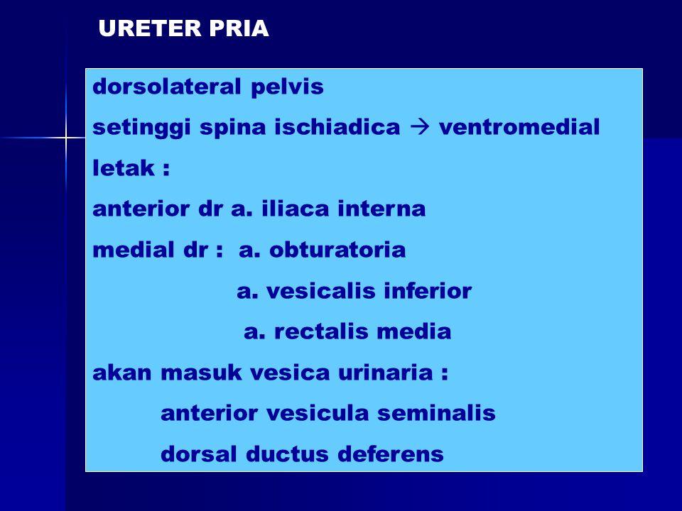 URETER PRIA dorsolateral pelvis. setinggi spina ischiadica  ventromedial. letak : anterior dr a. iliaca interna.