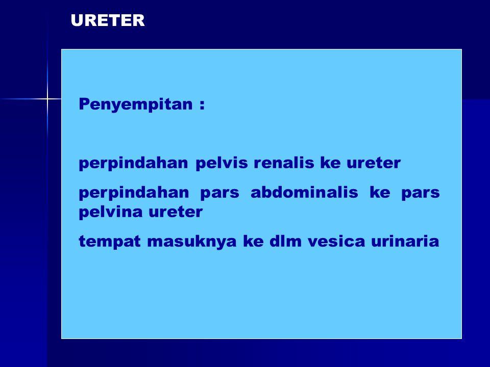 URETER Penyempitan : perpindahan pelvis renalis ke ureter. perpindahan pars abdominalis ke pars pelvina ureter.