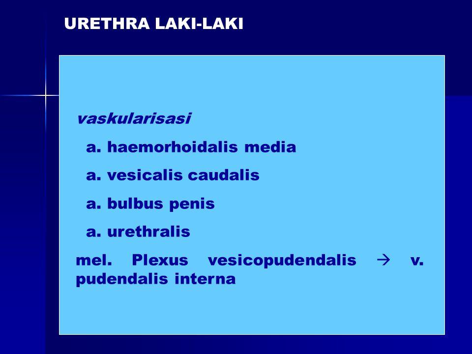 URETHRA LAKI-LAKI vaskularisasi. a. haemorhoidalis media. a. vesicalis caudalis. a. bulbus penis.