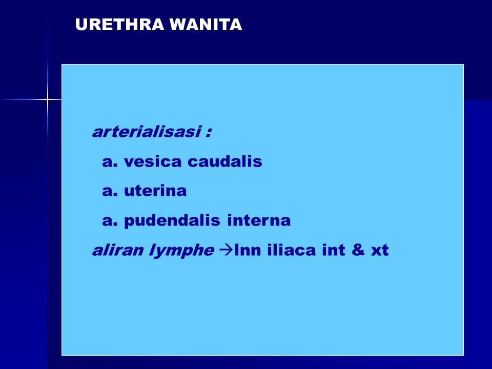 URETHRA WANITA arterialisasi : a. vesica caudalis.
