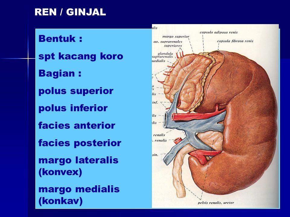 REN / GINJAL Bentuk : spt kacang koro Bagian : polus superior. polus inferior. facies anterior.