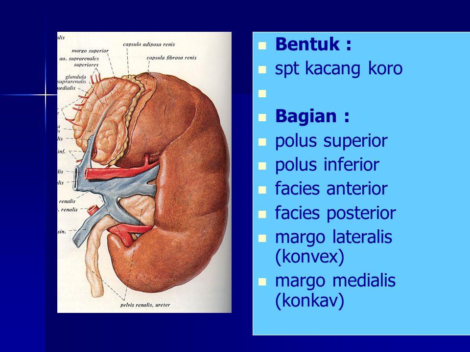 Bentuk : spt kacang koro. Bagian : polus superior. polus inferior. facies anterior. facies posterior.