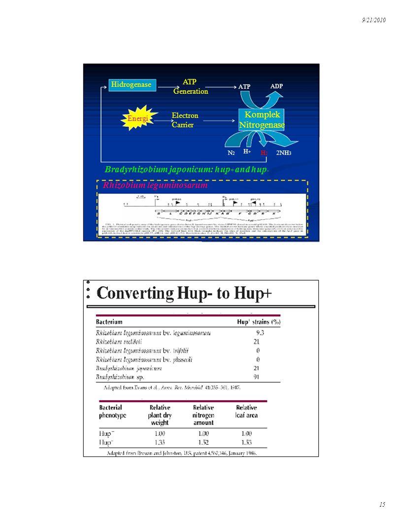 Bradyrhizobium japonicum: hup+ and hup-