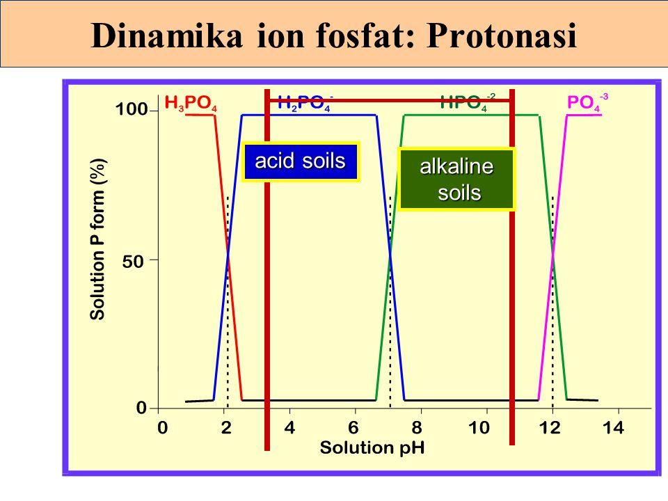 Dinamika ion fosfat: Protonasi