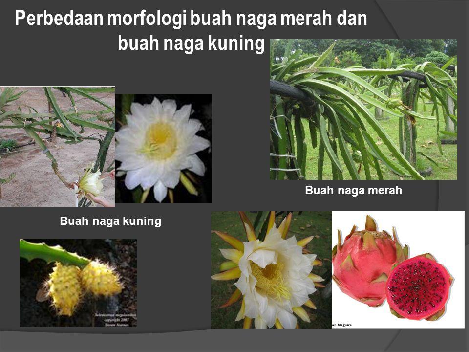 Perbedaan morfologi buah naga merah dan buah naga kuning