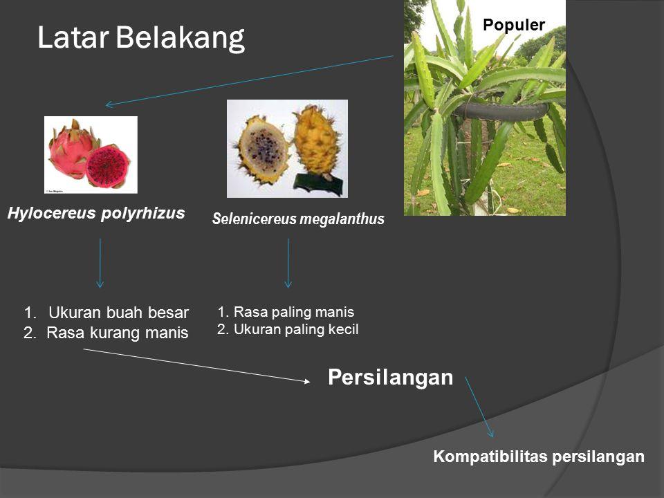 Latar Belakang Persilangan Populer Hylocereus polyrhizus