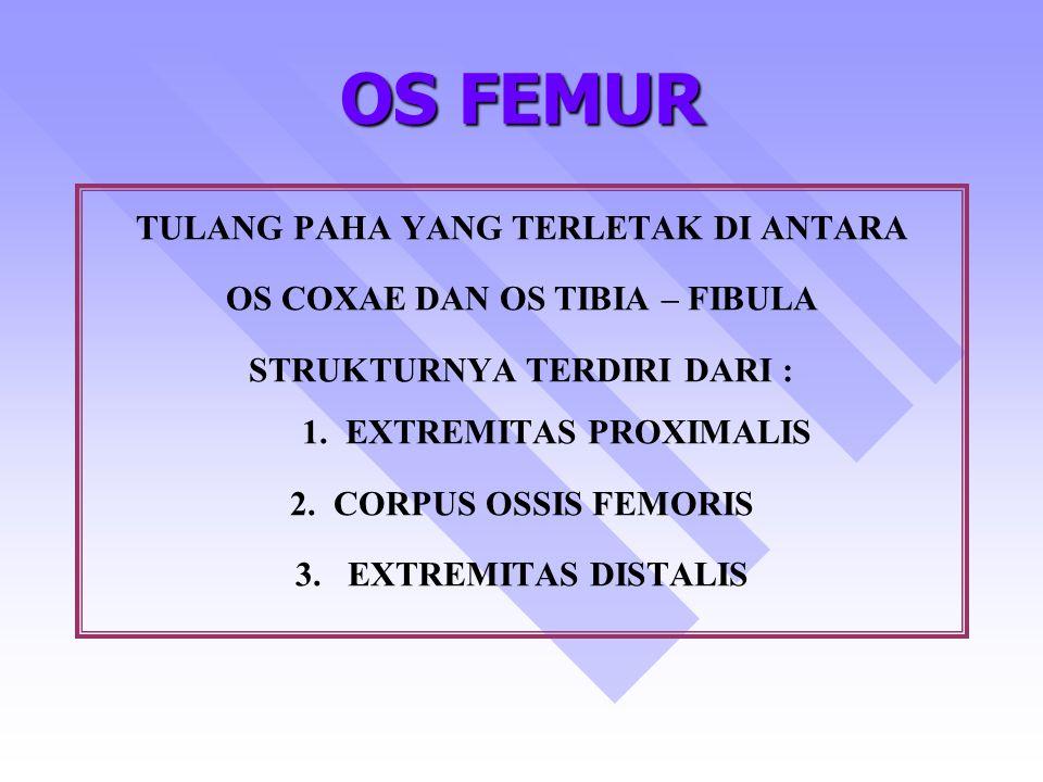 OS FEMUR TULANG PAHA YANG TERLETAK DI ANTARA