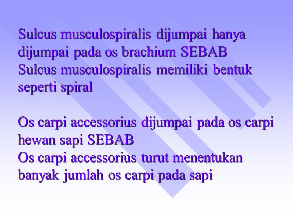 Sulcus musculospiralis dijumpai hanya dijumpai pada os brachium SEBAB Sulcus musculospiralis memiliki bentuk seperti spiral Os carpi accessorius dijumpai pada os carpi hewan sapi SEBAB Os carpi accessorius turut menentukan banyak jumlah os carpi pada sapi