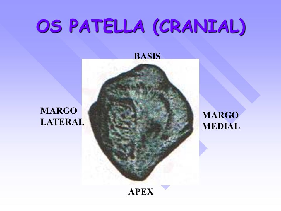 OS PATELLA (CRANIAL) BASIS MARGO LATERAL MARGO MEDIAL APEX