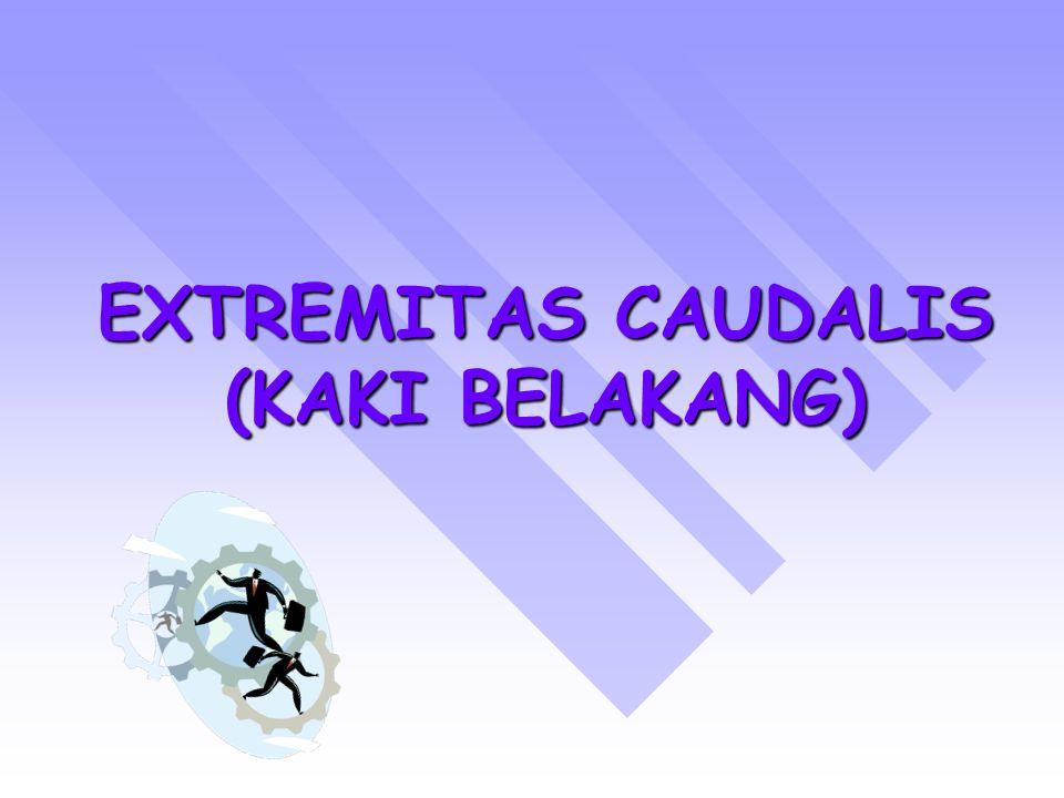 EXTREMITAS CAUDALIS (KAKI BELAKANG)
