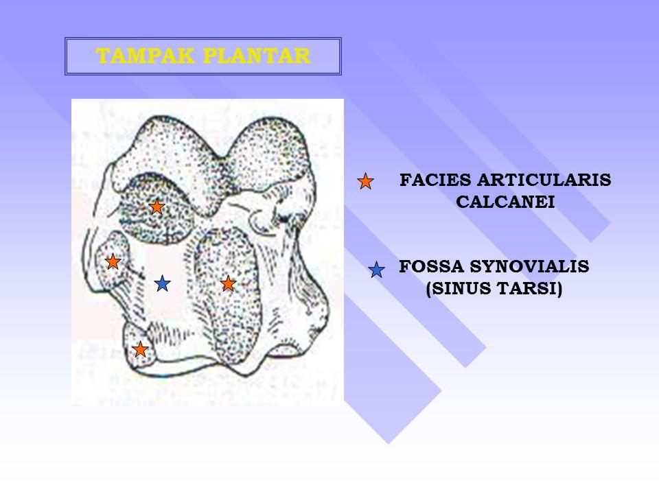 FACIES ARTICULARIS CALCANEI FOSSA SYNOVIALIS (SINUS TARSI)