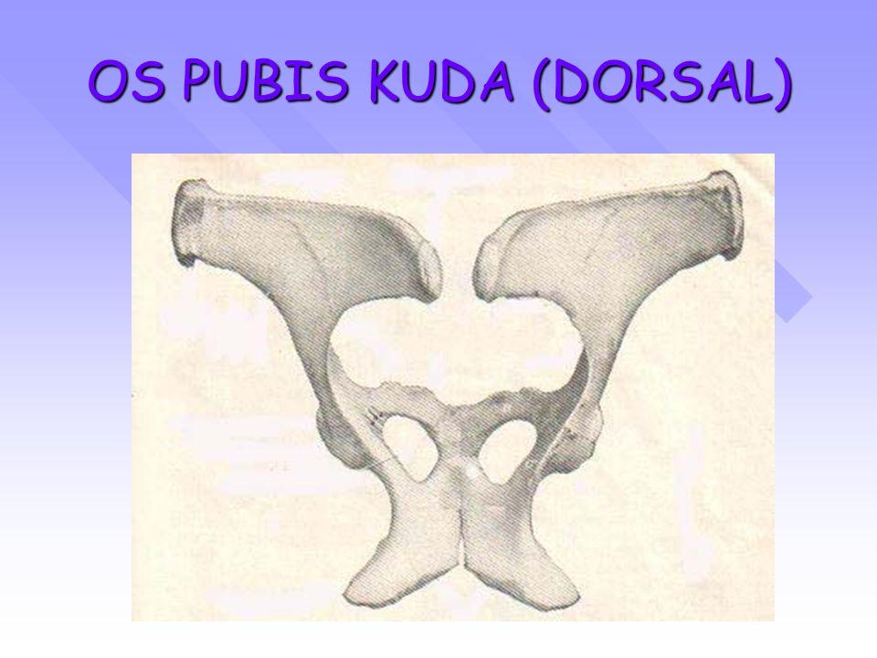 OS PUBIS KUDA (DORSAL)
